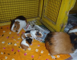 Surprise! Guinea Pig Babies
